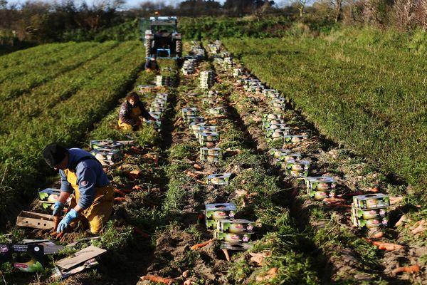 100 tonnes de dichloropropène, pesticide interdit depuis 2018 en France, aurait été utilisés par une dizaine de producteurs de carottes de Créances.