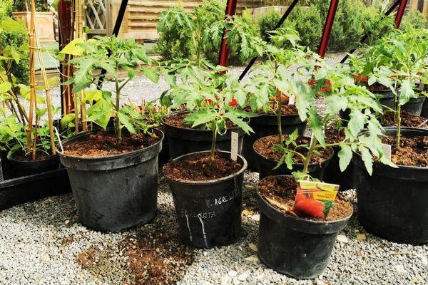 Y'aura-t-il une pénurie de tomates ce printemps et cet été ? Selon certains professionnels, pour certaines espèces, ça risque d'être compliqué d'en trouver.