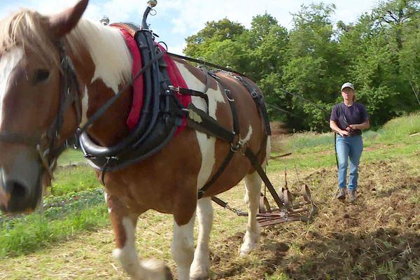 À Grignol, la jument Fabienne travaille les champs à l'ancienne