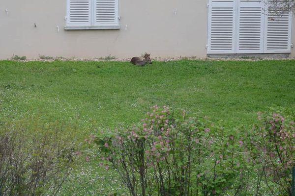 Un chevreuil s'est réfugié dans le jardin du cabinet médical d'Emmanuel Montfermé à Poitiers, ce vendredi.
