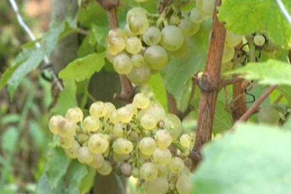Les conditions climatiques de 2013 ont engendré une baisse des volumes dans les vignobles de Bourgogne, du Beaujolais et du Bordelais