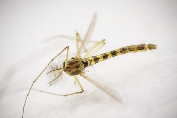 Le moustique tigre est vecteur de plusieurs maladies : le chikungunya, la dengue et le zika.