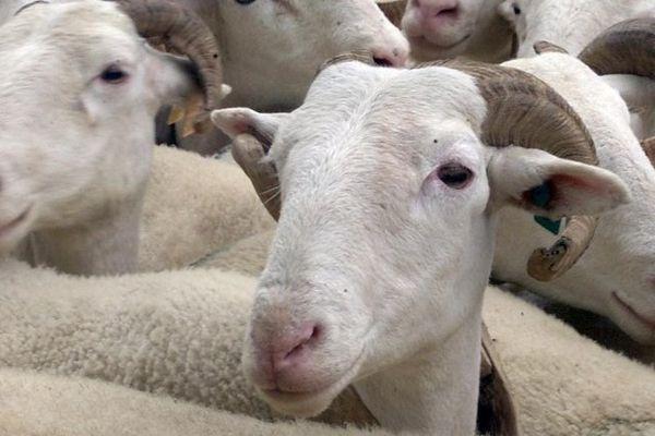 La fièvre catarrhale affecte les ovins, les bovins et les caprins mais n'est pas transmissible à l'homme.