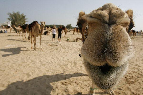 Un chameau dévisage la caméra à Doha (Qatar) - Photo d'illustration