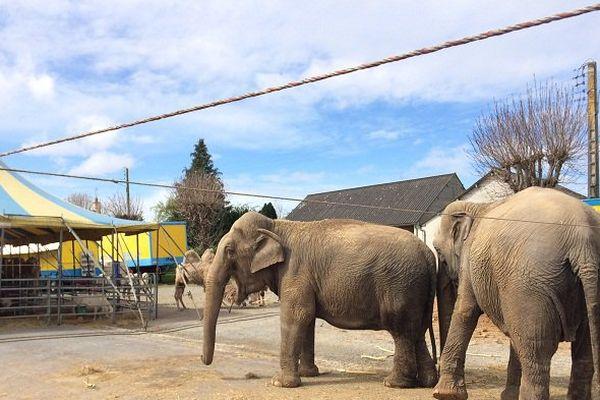 Les éléphants du cirque Belly Wein .
