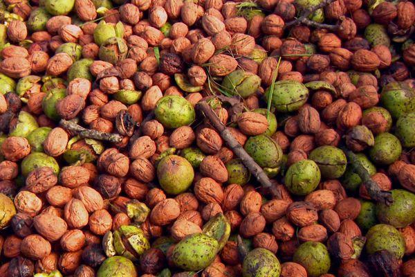 La récolte s'annonce bonne, mais la noix du Périgord doit jouer la qualité pour résister à la concurrence d'importation