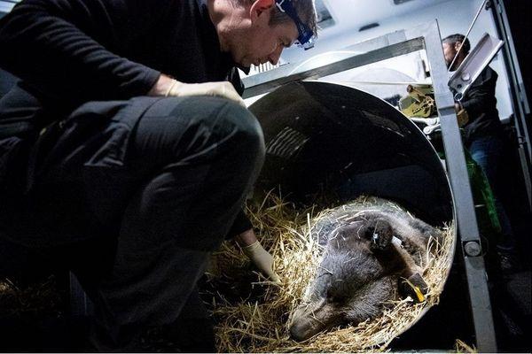 L'orse Sorita avant son transport depuis la Slovénie