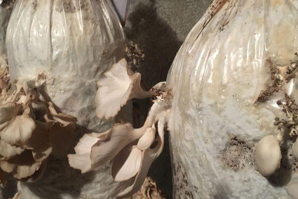 Des pleurotes sont cultivés grâce à du marc de café.