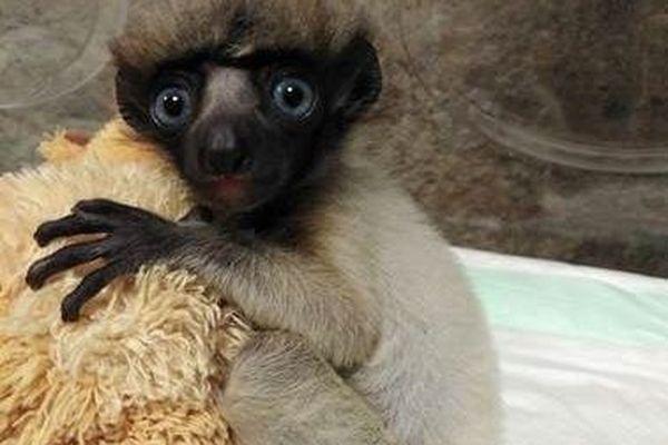 Soa est une femelle Propithèque couronnée de l'espèce des Lémuriens.