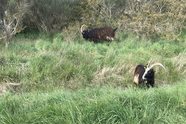 Dans ce parc paysager, une partie des espaces verts sont entretenus par des chèvres des fossés, c'est l'éco-pâturage.