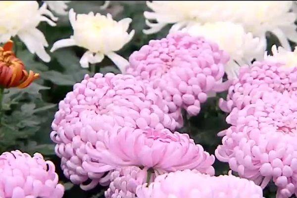 Toussaint, chrysanthèmes