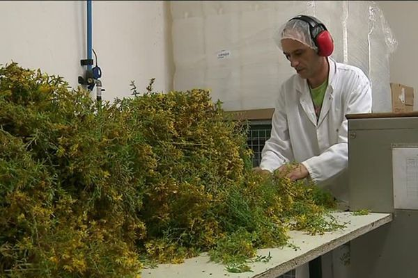 Fabrication d'huile de millepertuis au laboratoire de Candillargues, près de Mauguio dans l'Hérault. Les plantes ont poussés dans les champs alentour.