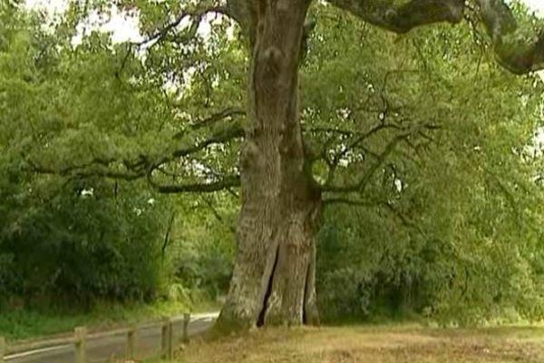 Ce chêne sessile au tronc creux à 350 ans.
