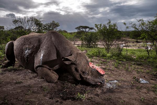 Le cadavre d'un rhinocéros noir, retrouvé mort dans la réserve de Hluhluwe-Umfolozi, en Afrique du Sud, moins de 24 heures après avoir été tué par des braconniers. L'enquête et l'autopsie révéleront que l'animal a été tué alors qu'il s'hydratait près d'un point d'eau par un fusil de chasse silencieux et très puissant. Les rhinocéros noirs sont les plus menacés : moins de 3 000 spécimens sont encore en vie.