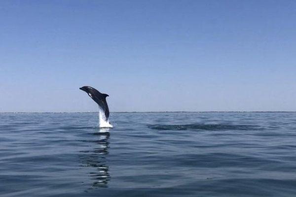 L'un des dauphins aperçu par Sébastien Guglielmi et ses amis au large de La Rochelle ce jeudi 30 juillet.