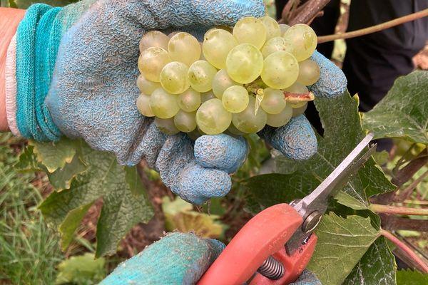 Cueillette de raisin au Domaine de Muzy dans la Meuse
