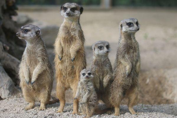 La famille suricate s'est agrandie au zoo de Champrepus, comme à Jurques