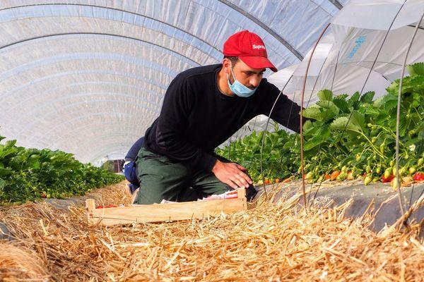 Ramasser les fraises en Lot-et-Garonne : un travail difficile qui demande beaucoup de minutie.