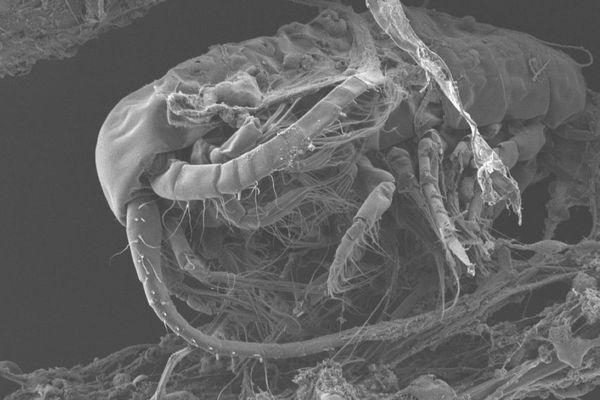 Vue au microscope d'un arthropode (petit animal invertébré) sur un fragment de déchet plastique, prélevé en Méditerranée.
