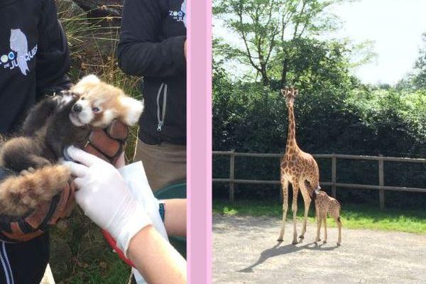 Ils viennent de naître en Normandie : un bébé panda roux et un girafon