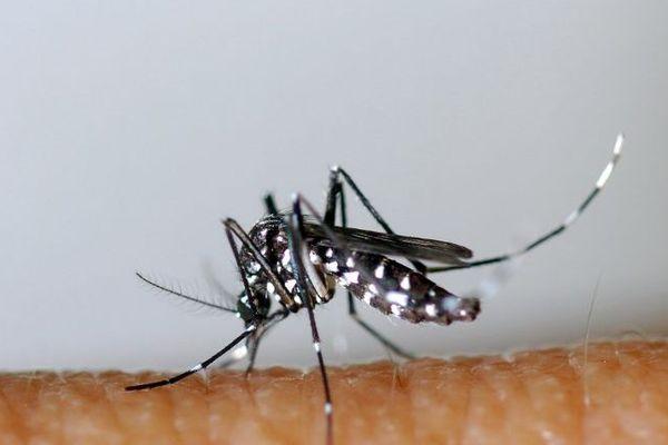 Le moustique-tigre est vecteur de maladies comme la dengue, le chikingunya ou le zika