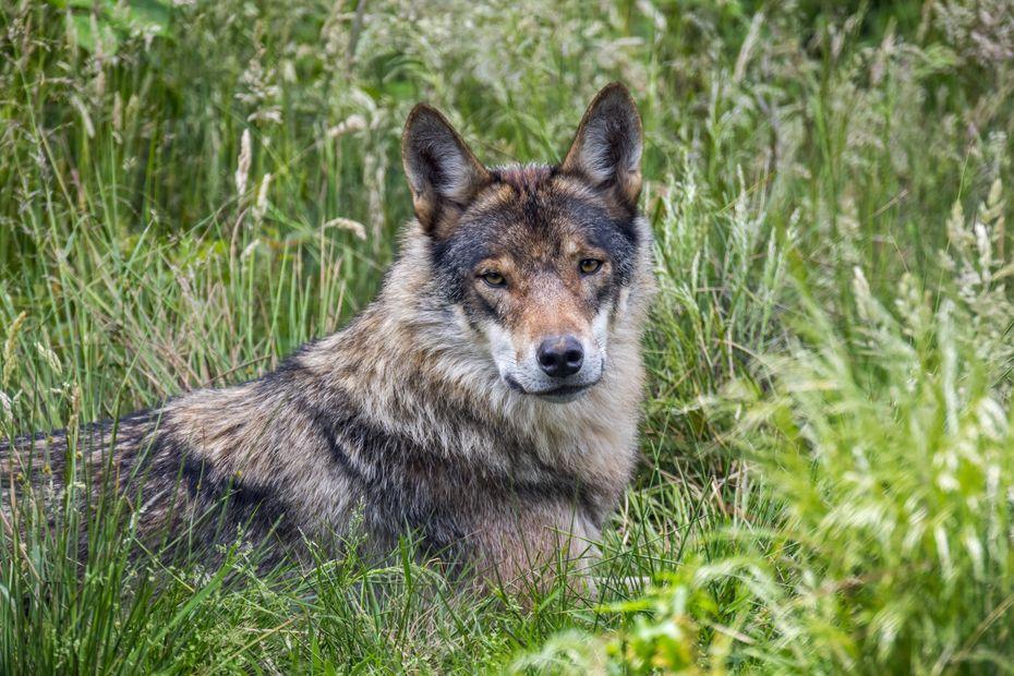 Un loup photographié en Ariège : l'Office Français de la Biodiversité valide