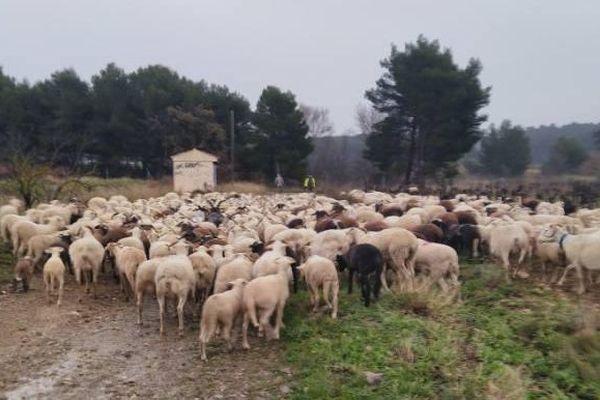 En prévision des débordements de l'Aude, des troupeaux ont été déplacés dans la région de Vendres, le 22 janvier dans l'après-midi.