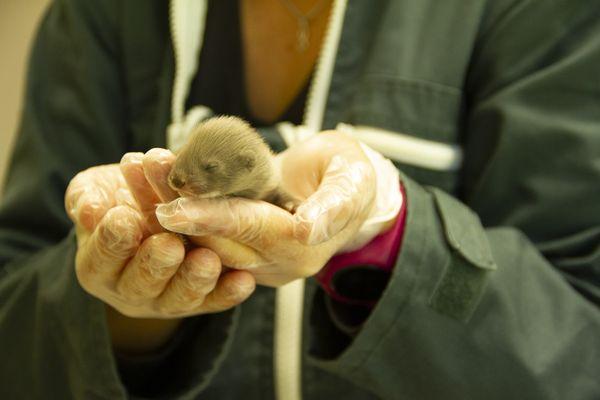 L'un des 9 bébés visons nés au printemps 2021 à Zoodyssée