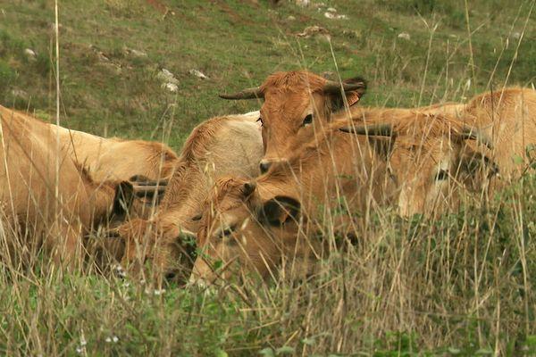 Des vaches dans la Haute-Vallée de l'Aude - archives.