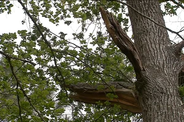 Ce chêne est en train de dépérir suite à des étés trop chauds et trop secs.