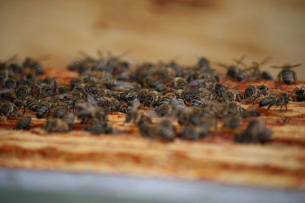 Les abeilles sont un maillon essentiel de la biodiversité.