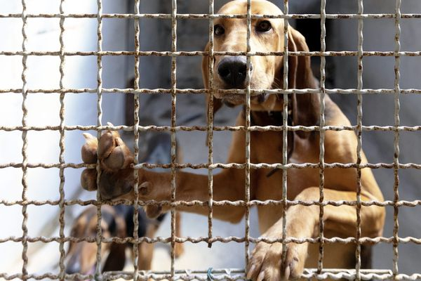 Illustration d'un chien dans un refuge de la SPA.