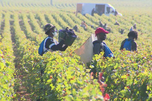 Dans les vignobles de Gevrey-Chambertin, 35 réfugiés participent aux vendanges avec bonheur.