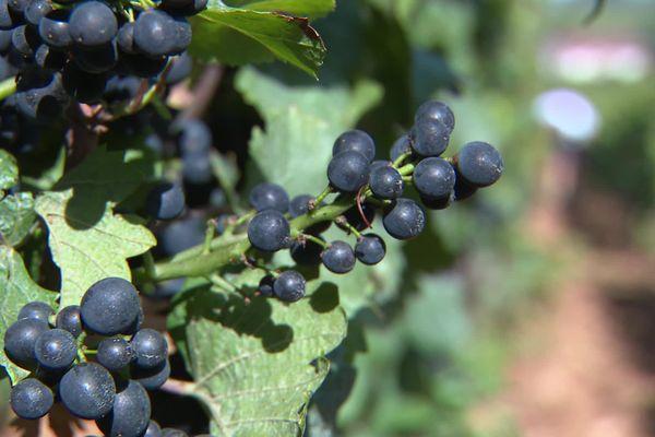 Les raisins à maturité sont vulnérables à la grêle, à quelques jours des vendanges