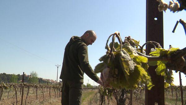 Damien Onorré, au chevet de ses vignes gelées à 100% à Paraza, dans le Minervois.