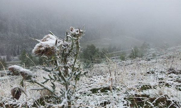 Chardon des Pyrénées surpris par le froid sur les hauteurs de la station de ski d'Ascou-Pailhères (Ariège)