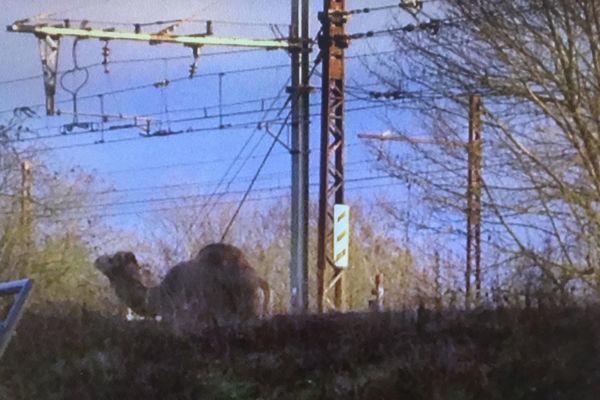 Un dromadaire se baladait sur les voies de la ligne R du Transilien.