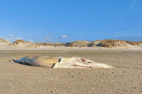 Le cadavre d'un rorqual en putréfaction a été découvert sur la plage de merlimont, ce samedi 27 mars 2021.