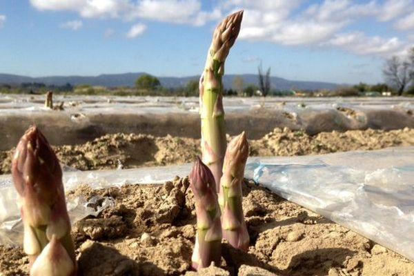 Les asperges de Puichéric poussent dans la terre sablonneuse d'un étang asséché.