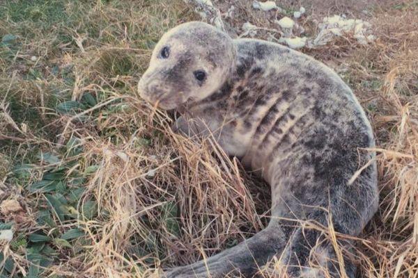 Un jeune phoque perdu et secouru sur un sentier de la côte sauvage de Quiberon