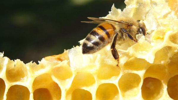 La première récolte de miel de l'année devrait avoir des nuances de colza, de sureau, et de houx.