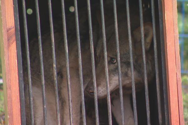 L'un des loups arrivé ce samedi dans les Deux-Sèvres.
