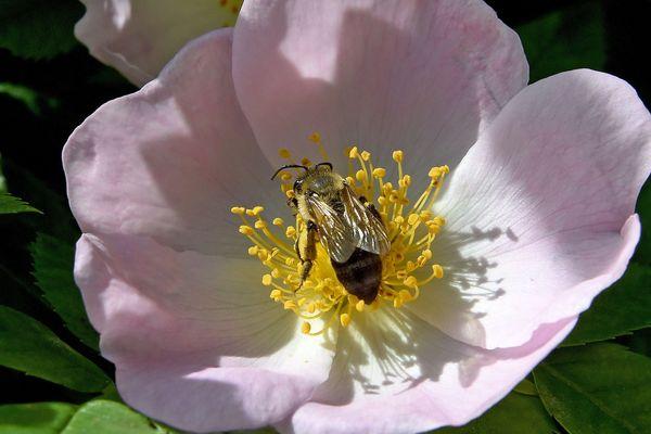 """Des scientifiques de Clermont-Ferrand et de Lyon ont décrypté l'ADN de la rose """"Old Bush"""". Des travaux qui pourraient permettre d'améliorer la résistance de la fleur aux maladies et de réduire ainsi l'usage des pesticides."""