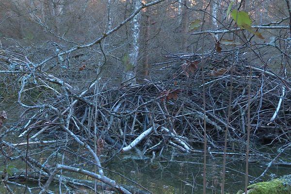 Les castors sont les responsables de barrages importants sur les rivières.