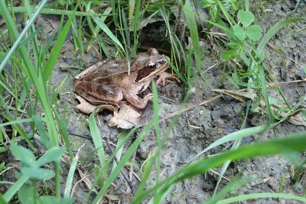 La grenouille agile fait partie des espèces qui fréquentent le Parc Naturel Régional de la Forêt d'Orient.