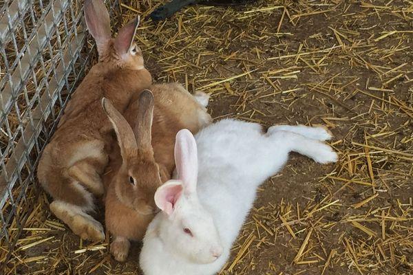 Un éleveur de lapins constate de nombreuses pertes dans ses clapiers.