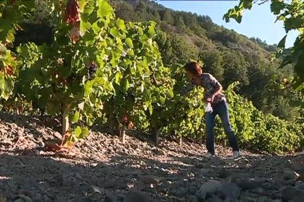 Les vendanges dans les Hautes-Alpes n'ont pas encore débuté, le raisin n'est pas arrivé à maturité