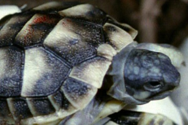 Une tortue Hermann.