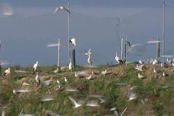 Le centre d'enfouissement des déchets devient le garde-manger des cigognes