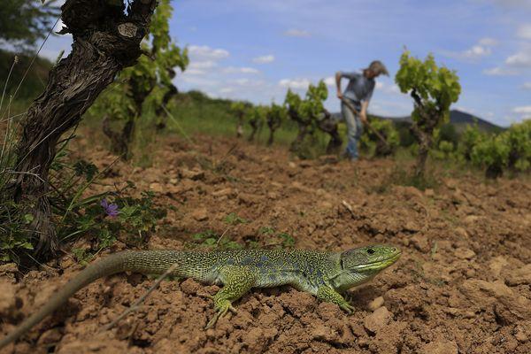 Espèce menacée d'extinction, le lézard ocellé bénéfice de la mobilisation de viticulteurs de Cascastel-des-Corbières, dans l'Aude. Ils réparent petit à petit son habitat : des centaines de murets qui entourent les vignes.